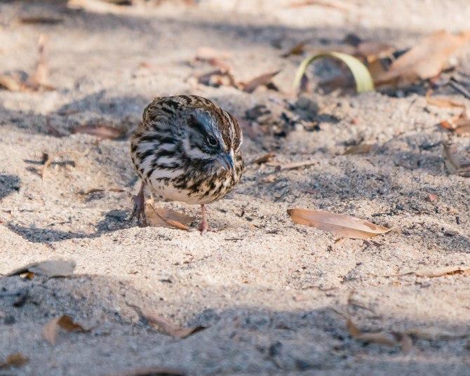 20171222 fox sparrow Lake Skinner CA _