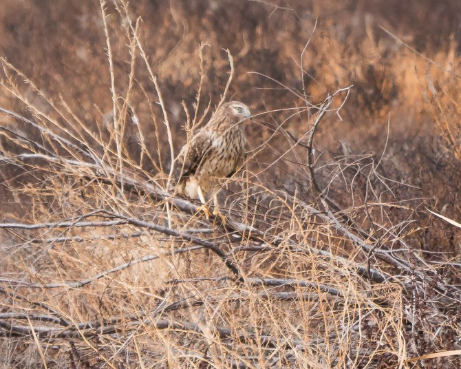 20171223 Harrier San Jacinto Wildlife Area CA _