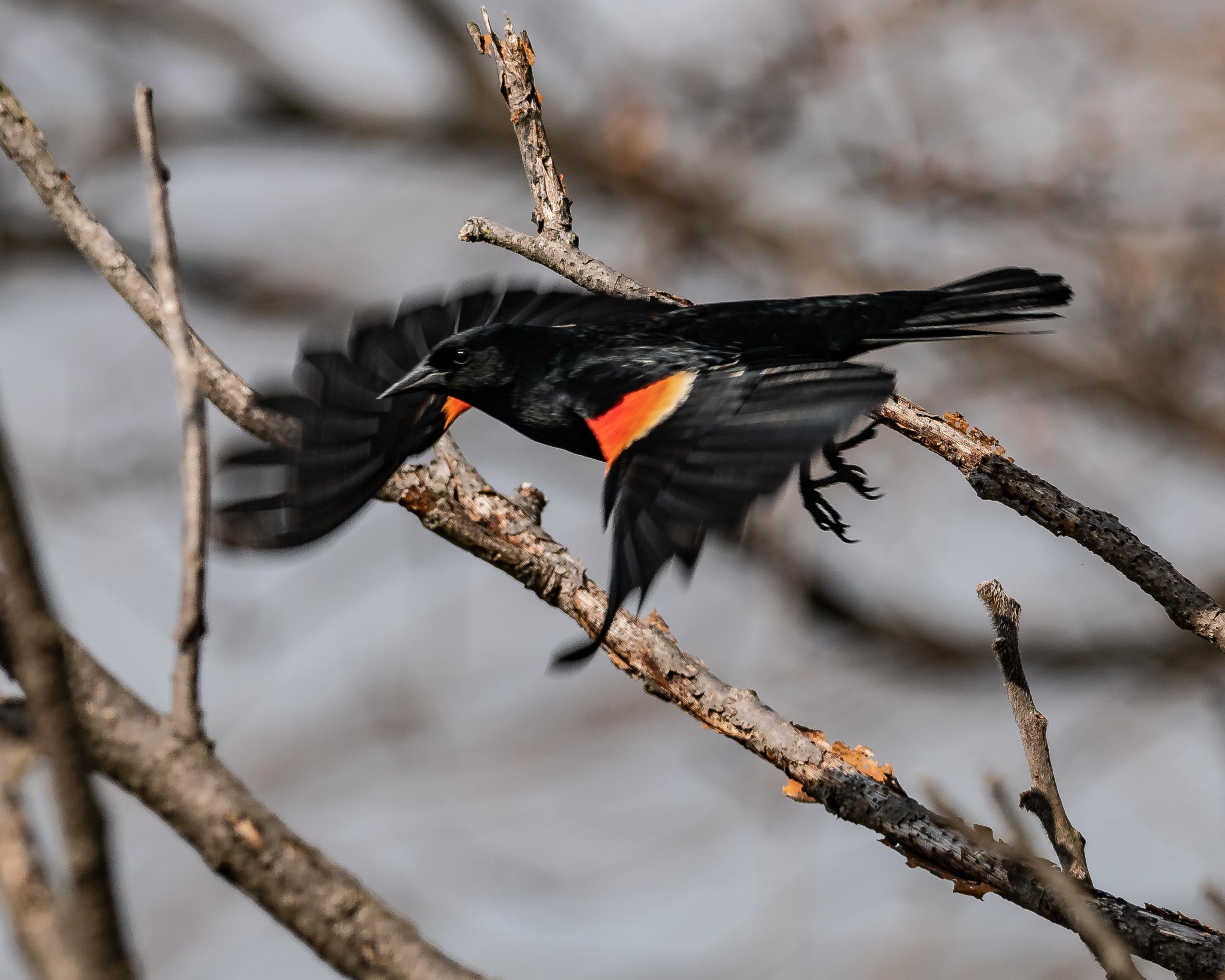 20180428 red-winged blackbird flying croton _