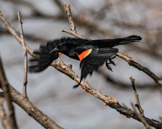 20180428 red-winged blackbird flying croton _