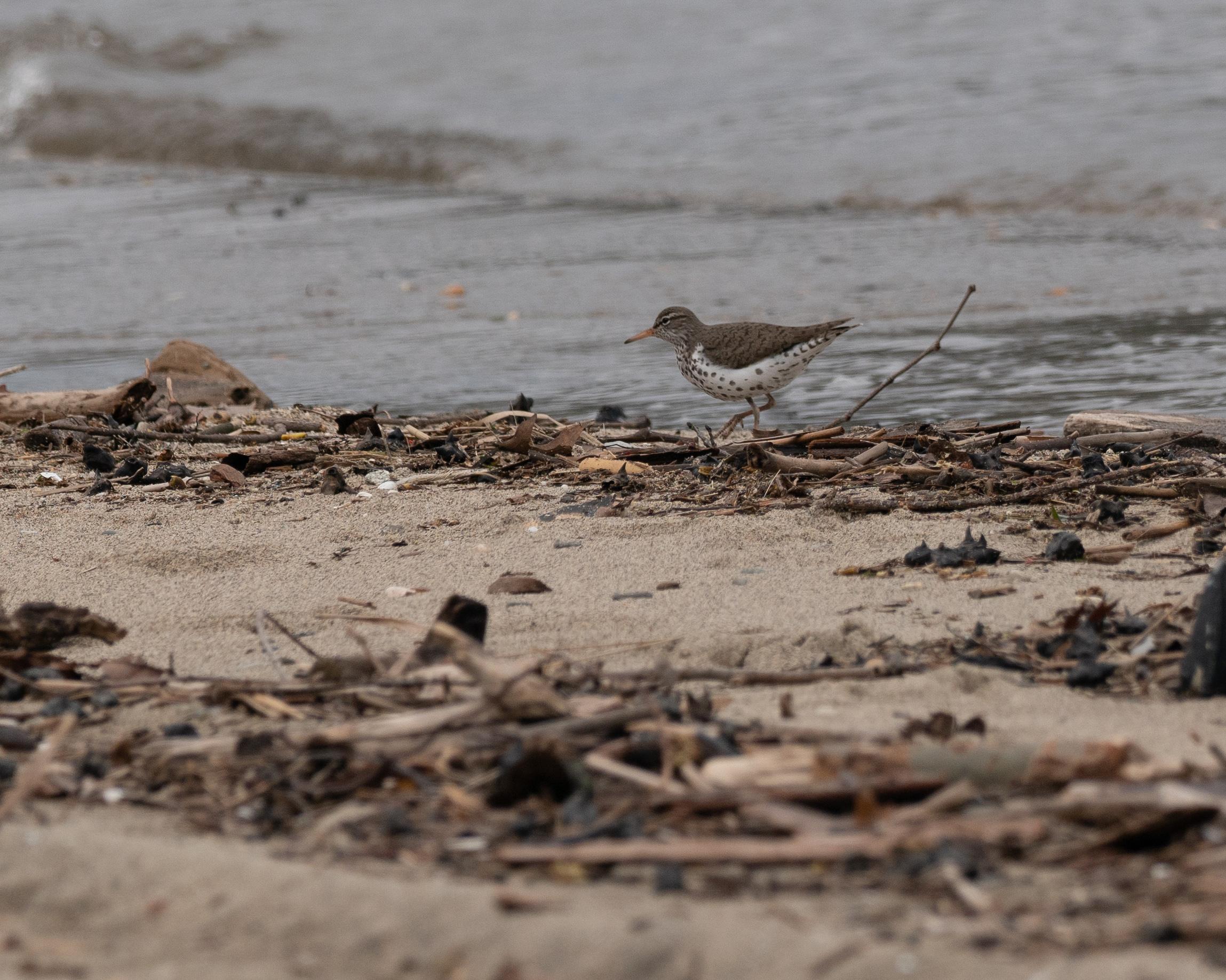 20180428 Spotted Sandpiper Croton Swimming Beach _