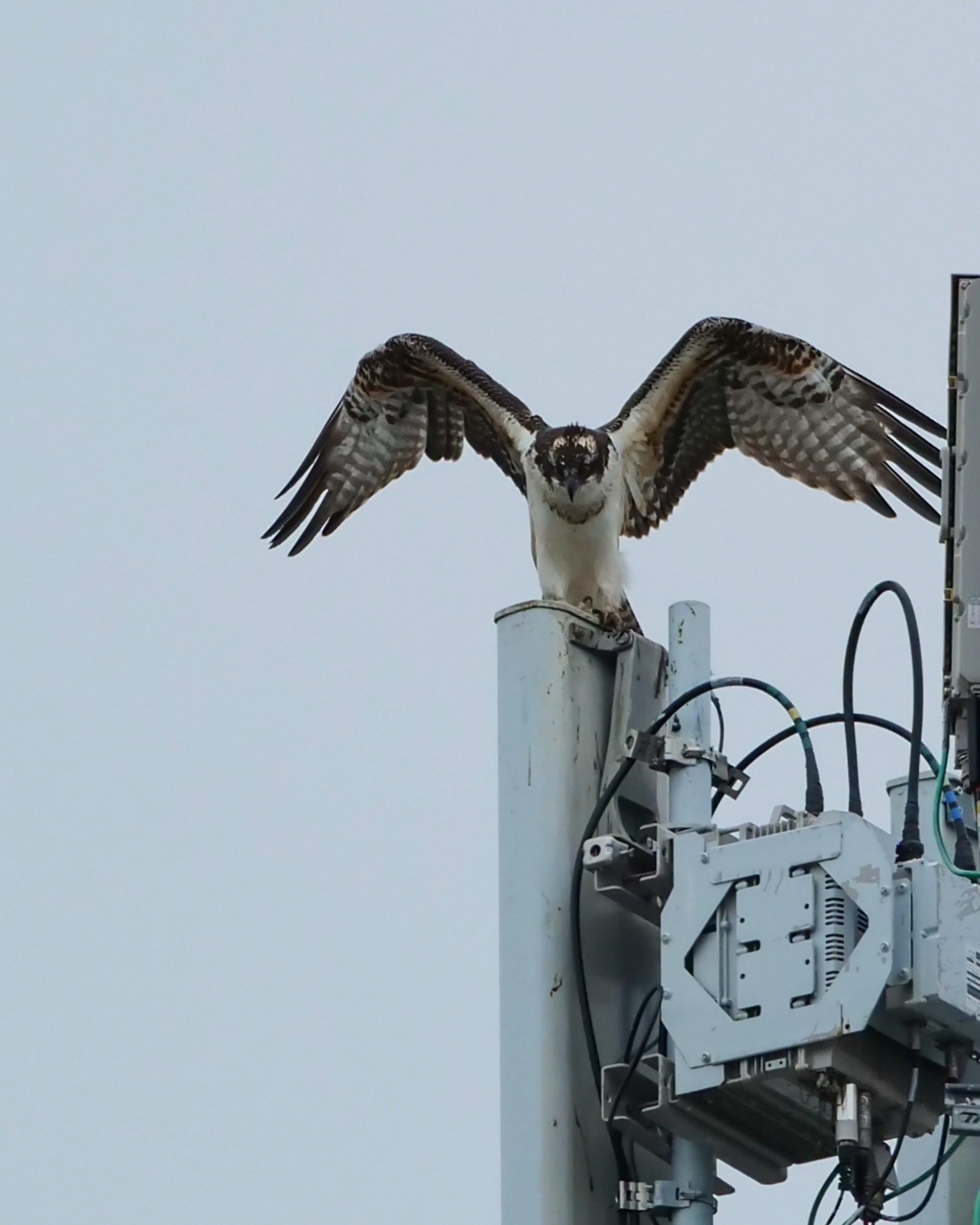 20180907-osprey-imm-waiting-for-food-delivery-croton-_