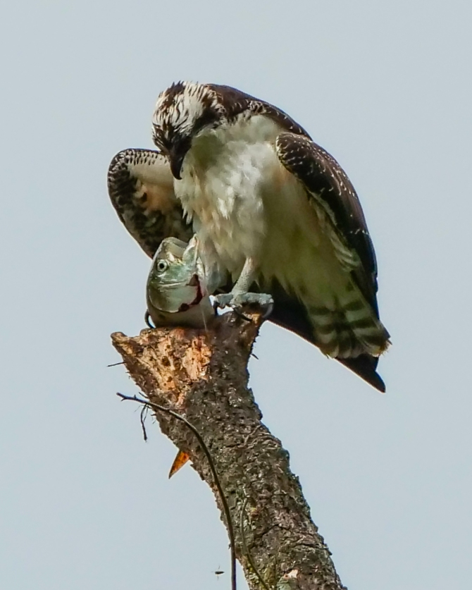 20180917-osprey-tell-it-to-the-fish-oglevies-croton-_