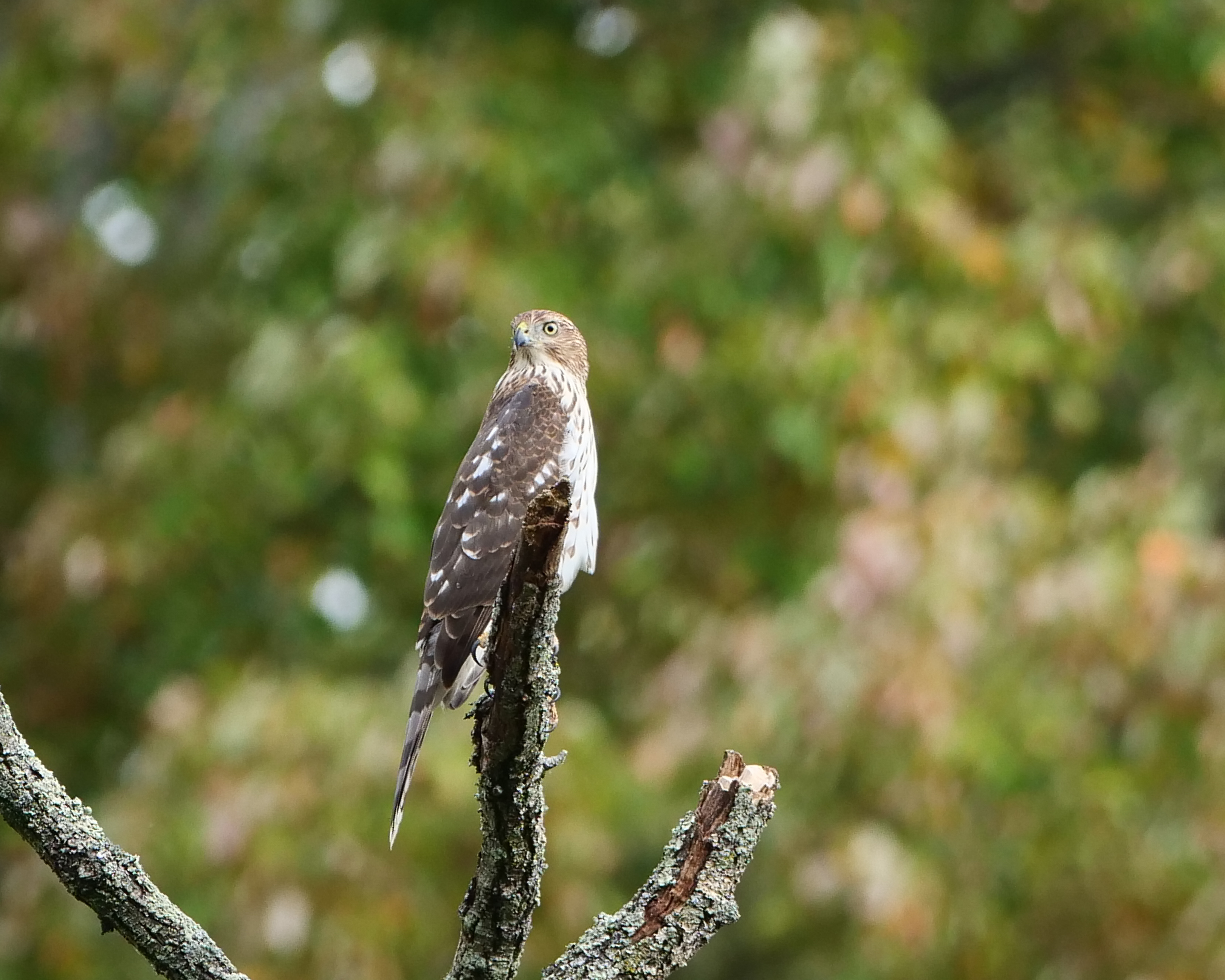 20190930 hawk croton River _