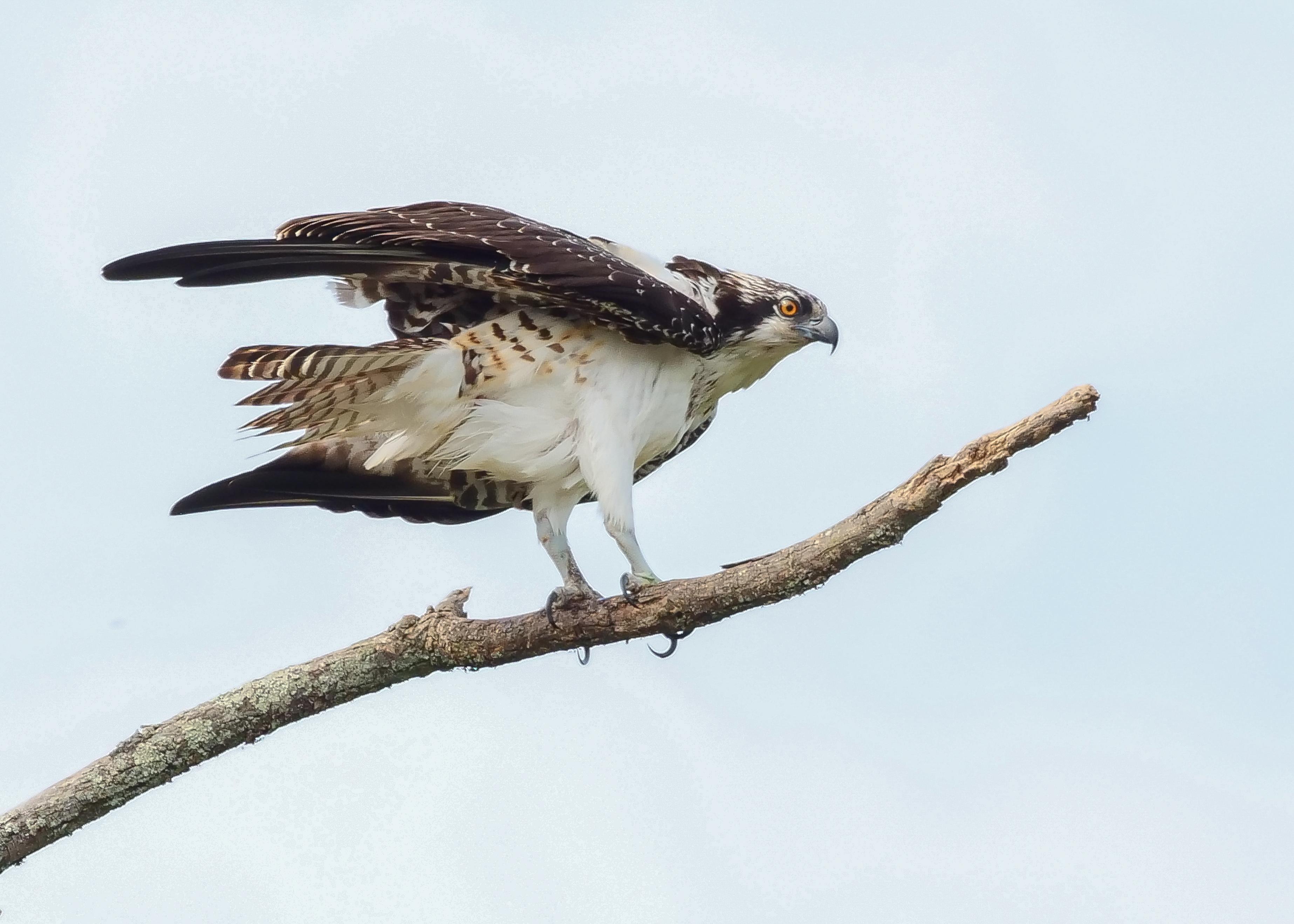 20190930 osprey croton river _